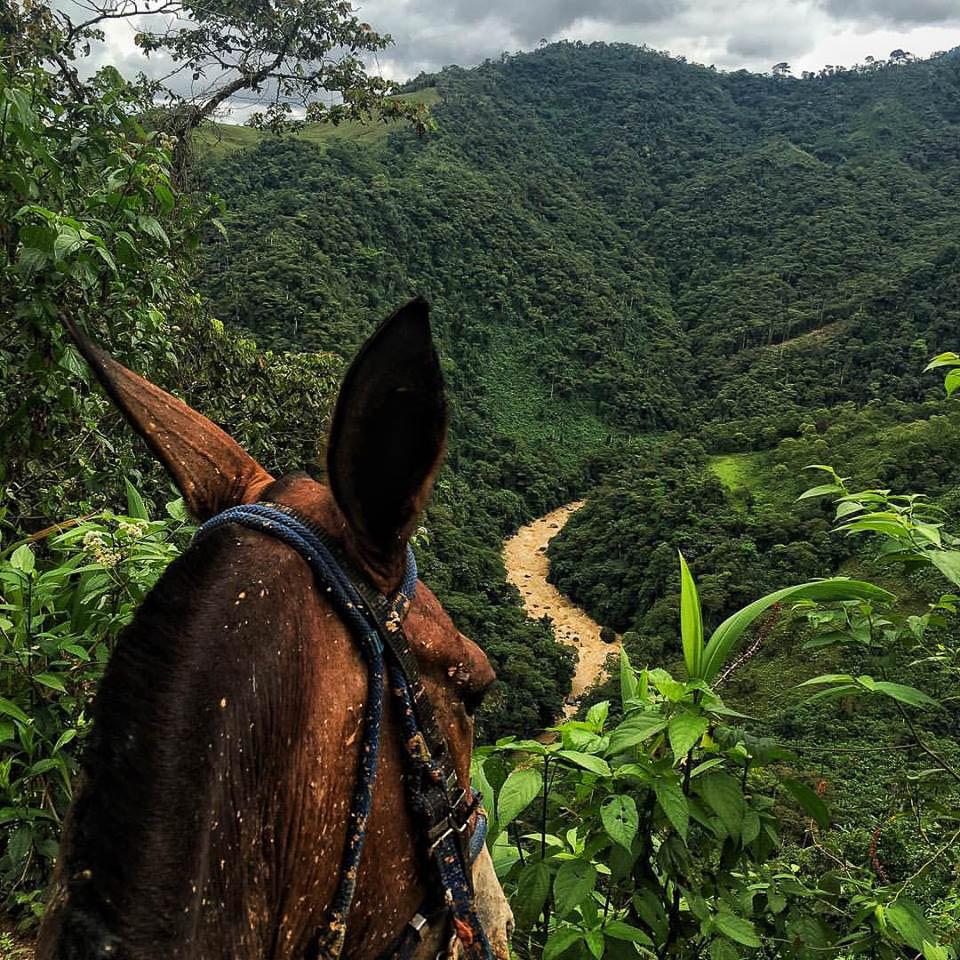 Muchas horas de trochas clandestinas sobre el lomo de una mula para salir de un campamento de las FARC en las montañas de Valdivia en el río Cauca. Cada rastro que dejábamos era borrado para no ser seguidos ni dejar huellas que puedan conducir al campamento.