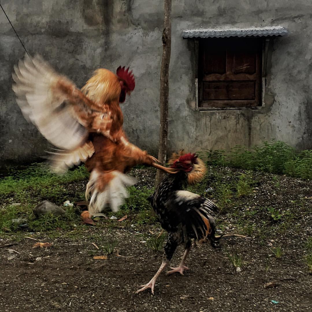 Dos gallos pelean en las calles de un pueblo chocoano. Es su hábito natural y estos son gallos salvajes que se encontraron en la calle. Las apuestas en peleas de gallos son comunes en el país.